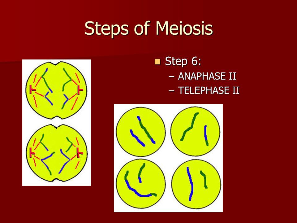 Steps of Meiosis Step 6: ANAPHASE II TELEPHASE II