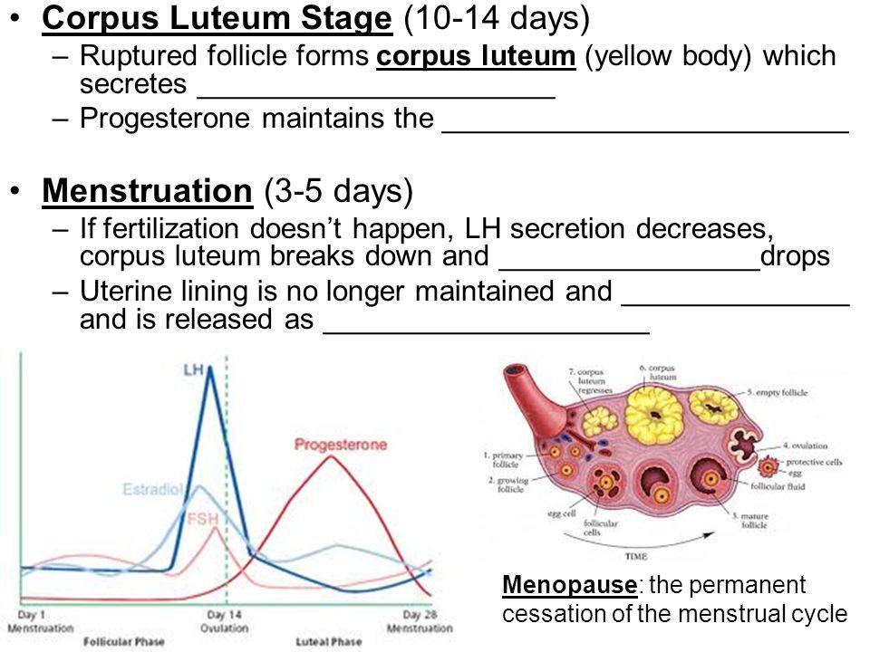 Corpus Luteum Stage (10-14 days)