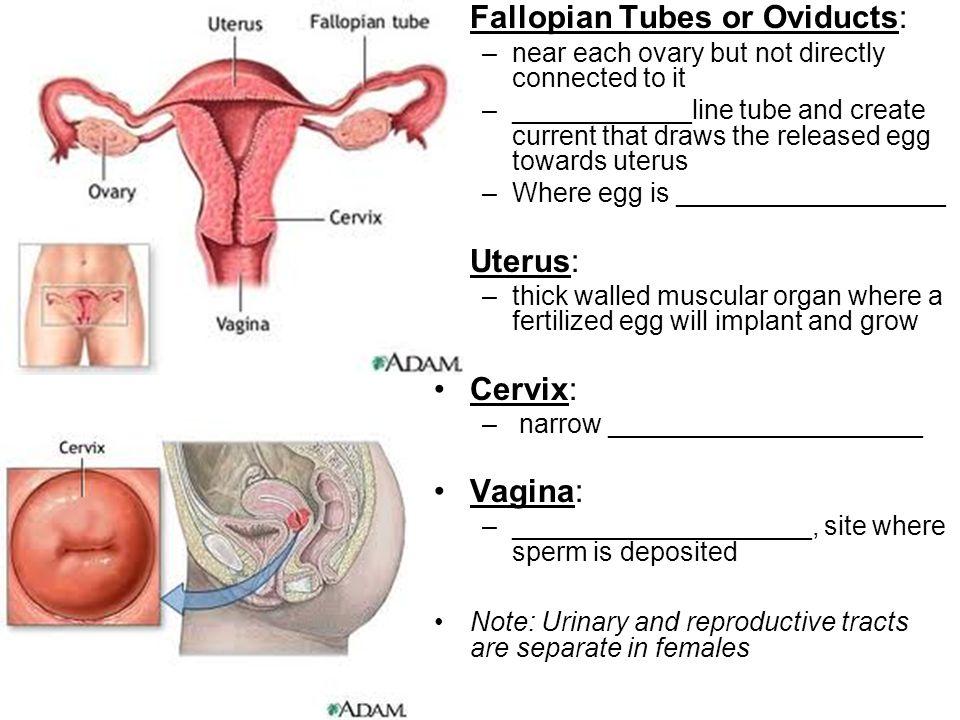 Fallopian Tubes or Oviducts: