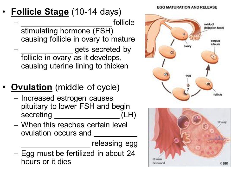 Follicle Stage (10-14 days)