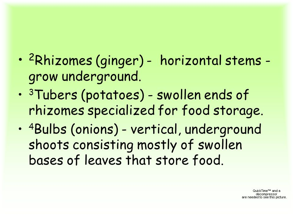 2Rhizomes (ginger) - horizontal stems - grow underground.