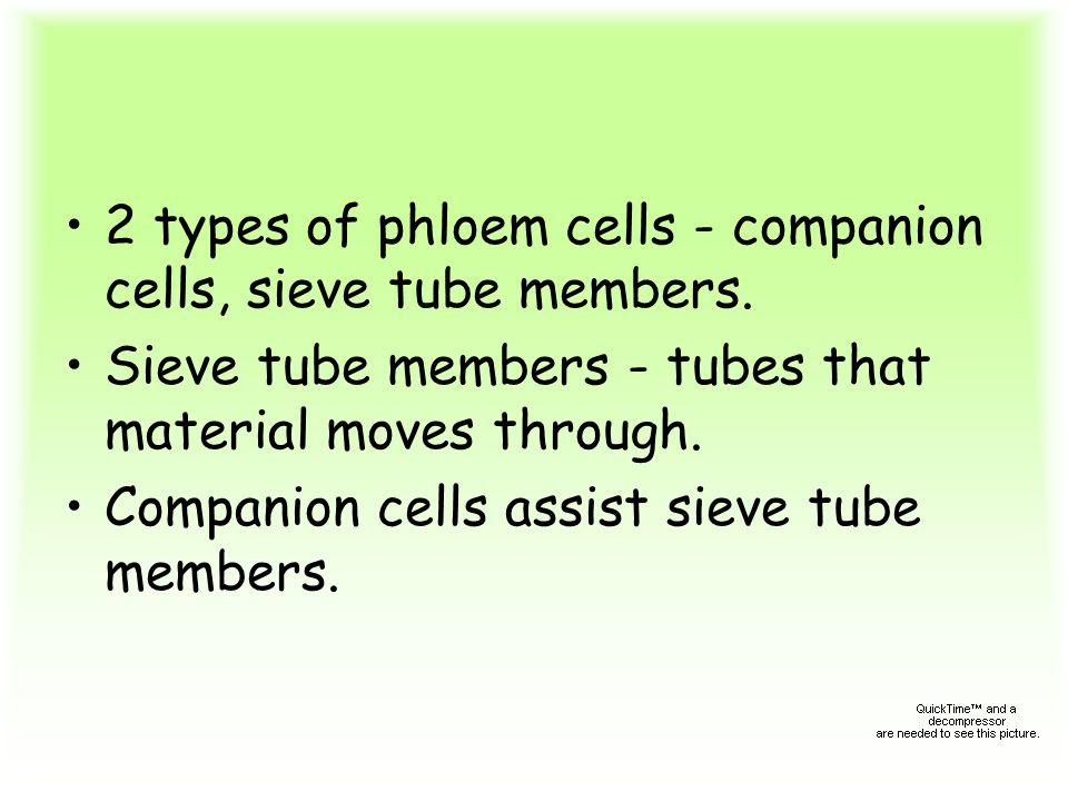 2 types of phloem cells - companion cells, sieve tube members.
