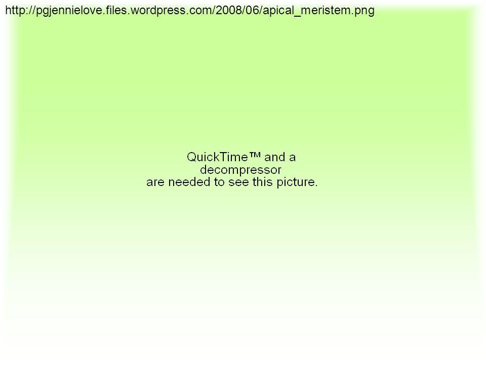 http://pgjennielove.files.wordpress.com/2008/06/apical_meristem.png