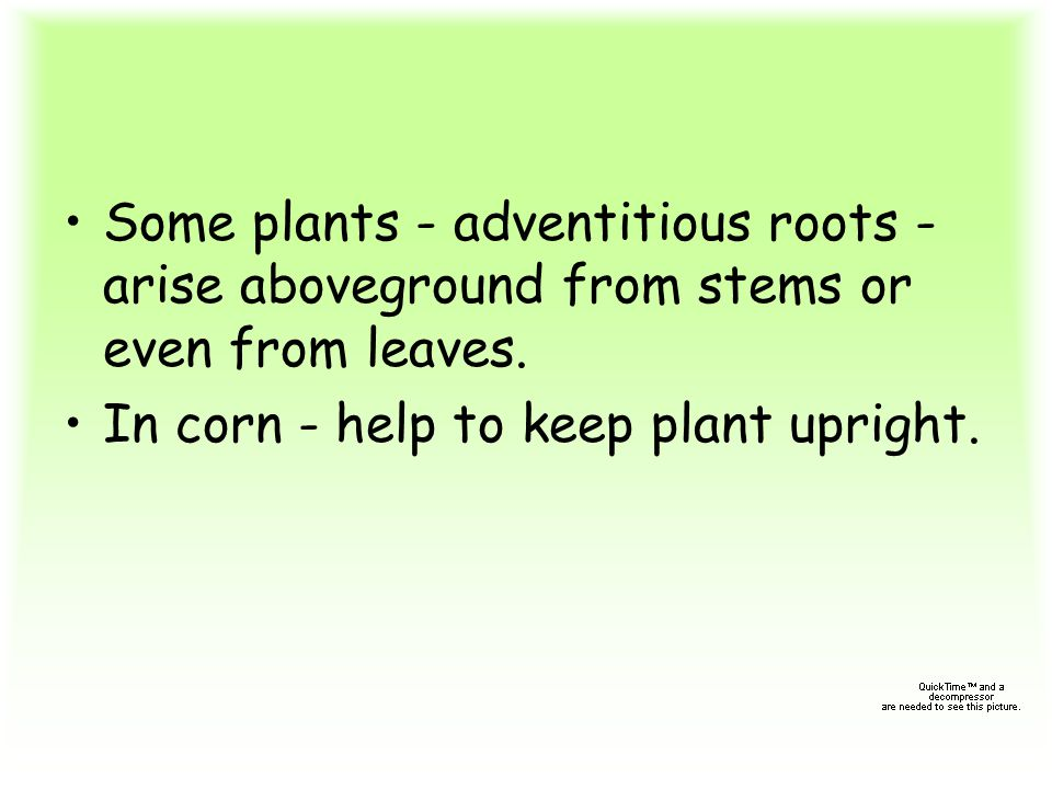 Some plants - adventitious roots -arise aboveground from stems or even from leaves.