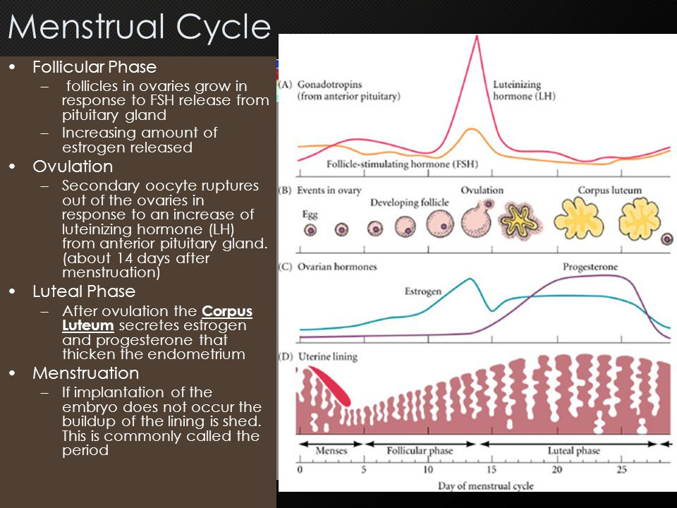 Menstrual Cycle Follicular Phase Ovulation Luteal Phase Menstruation