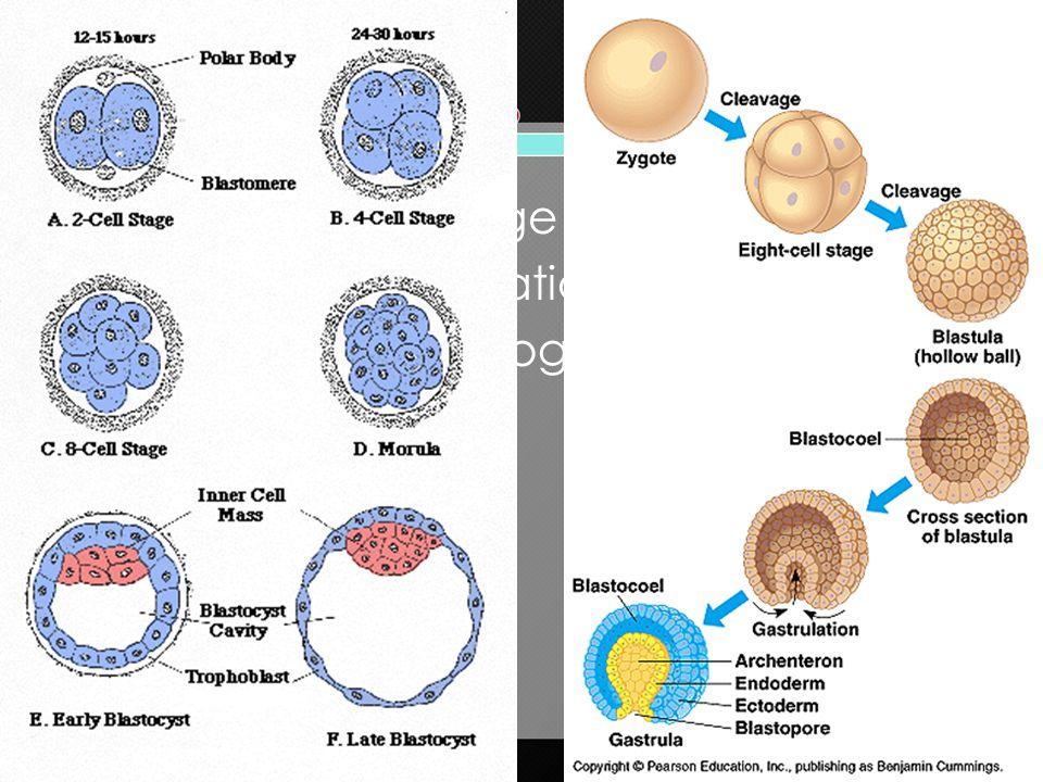 Zygote  Cleavage  Blastula  Gastrulation  Gastrula  Organogenesis  Fetus