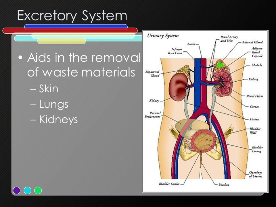 Excretory System Aids in the removal of waste materials Skin Lungs