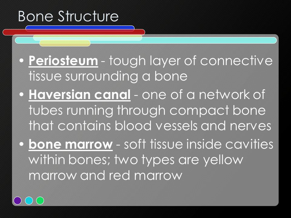 Bone Structure Periosteum - tough layer of connective tissue surrounding a bone.