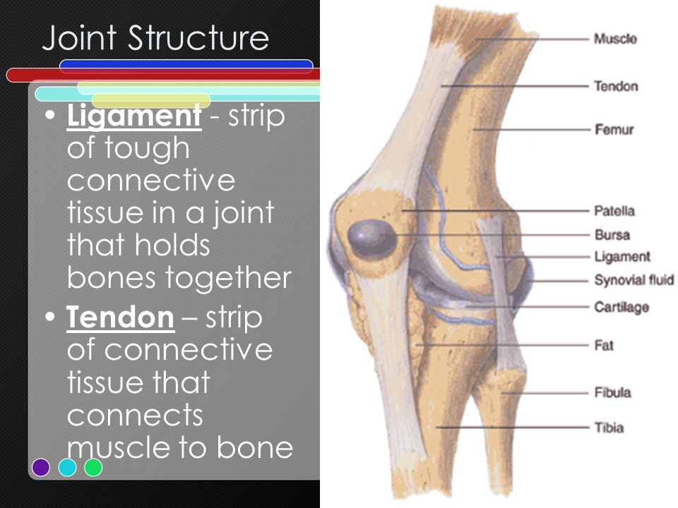 Joint Structure Ligament - strip of tough connective tissue in a joint that holds bones together.