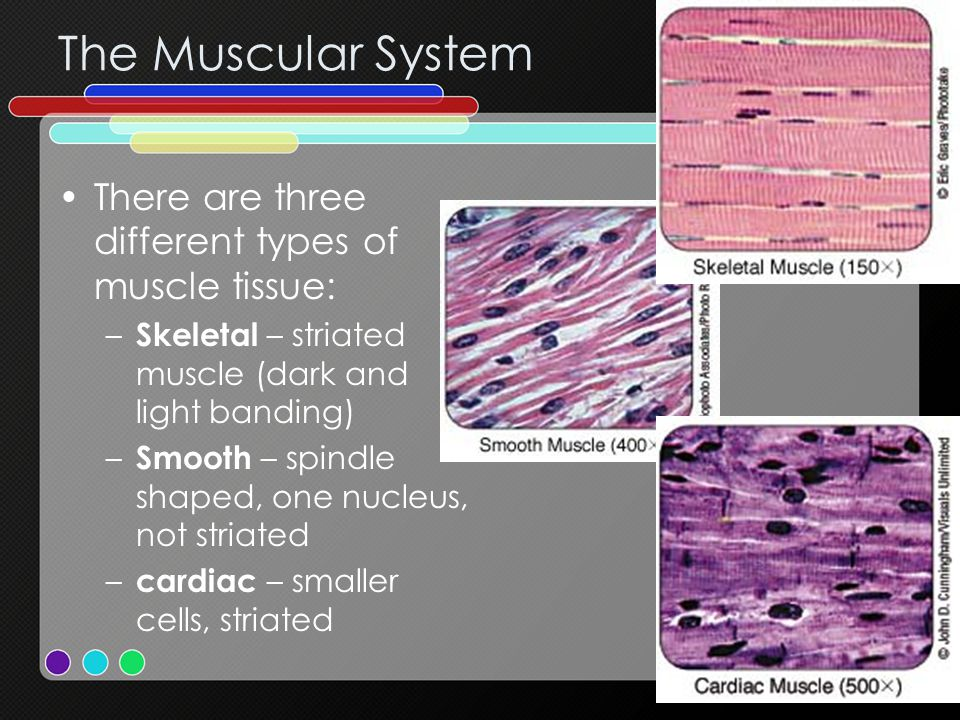 The Muscular System There are three different types of muscle tissue: