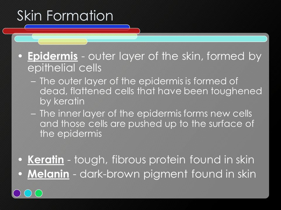 Skin Formation Epidermis - outer layer of the skin, formed by epithelial cells.