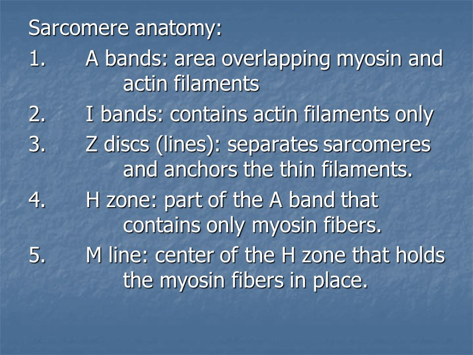 Sarcomere anatomy: 1. A bands: area overlapping myosin and actin filaments. 2. I bands: contains actin filaments only.