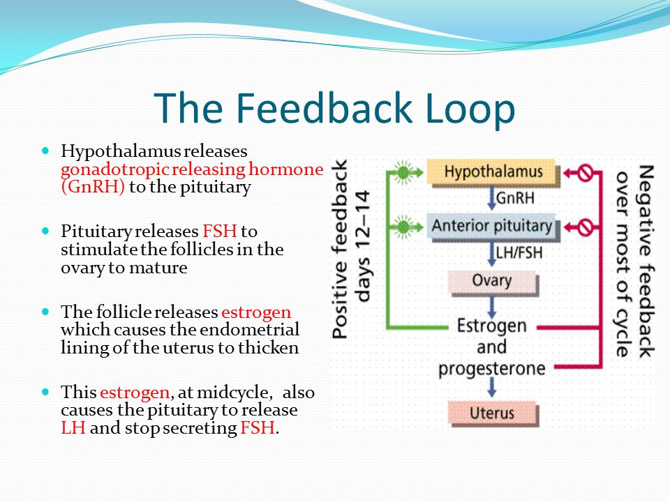 The Feedback Loop Hypothalamus releases gonadotropic releasing hormone (GnRH) to the pituitary.