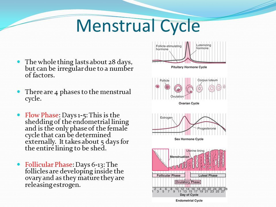 Menstrual Cycle The whole thing lasts about 28 days, but can be irregular due to a number of factors.