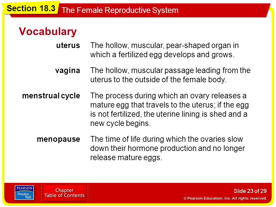 Vocabulary uterus. The hollow, muscular, pear-shaped organ in which a fertilized egg develops and grows.