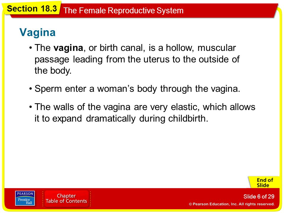 Vagina The vagina, or birth canal, is a hollow, muscular passage leading from the uterus to the outside of the body.