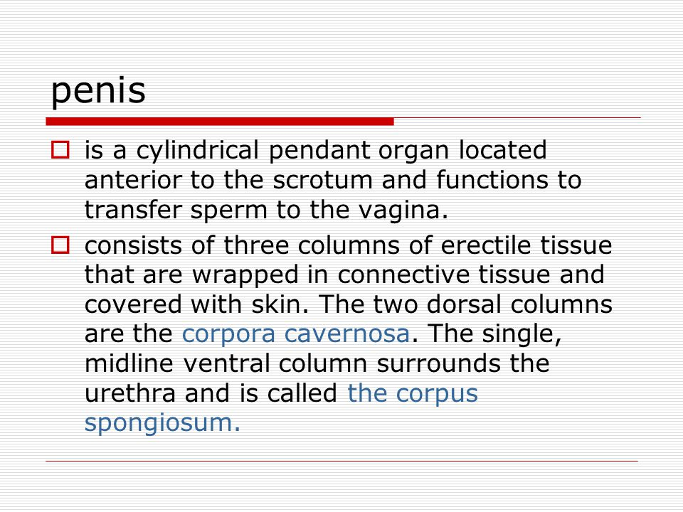penis is a cylindrical pendant organ located anterior to the scrotum and functions to transfer sperm to the vagina.
