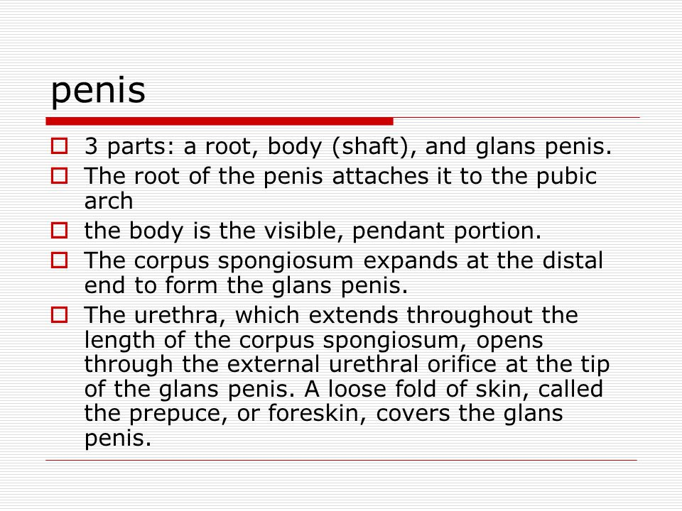 penis 3 parts: a root, body (shaft), and glans penis.