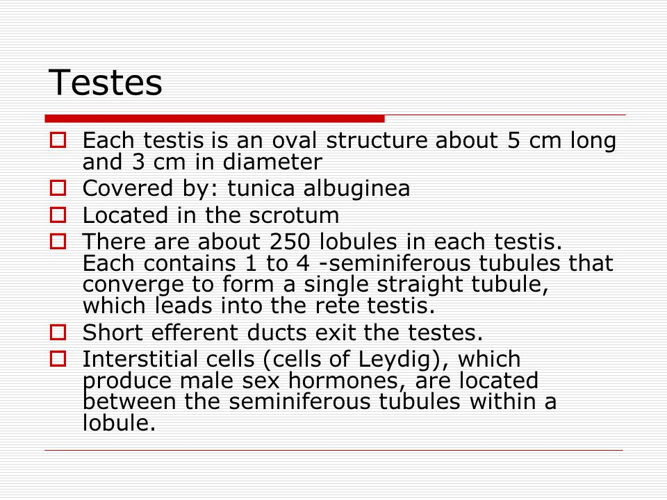 Testes Each testis is an oval structure about 5 cm long and 3 cm in diameter. Covered by: tunica albuginea.
