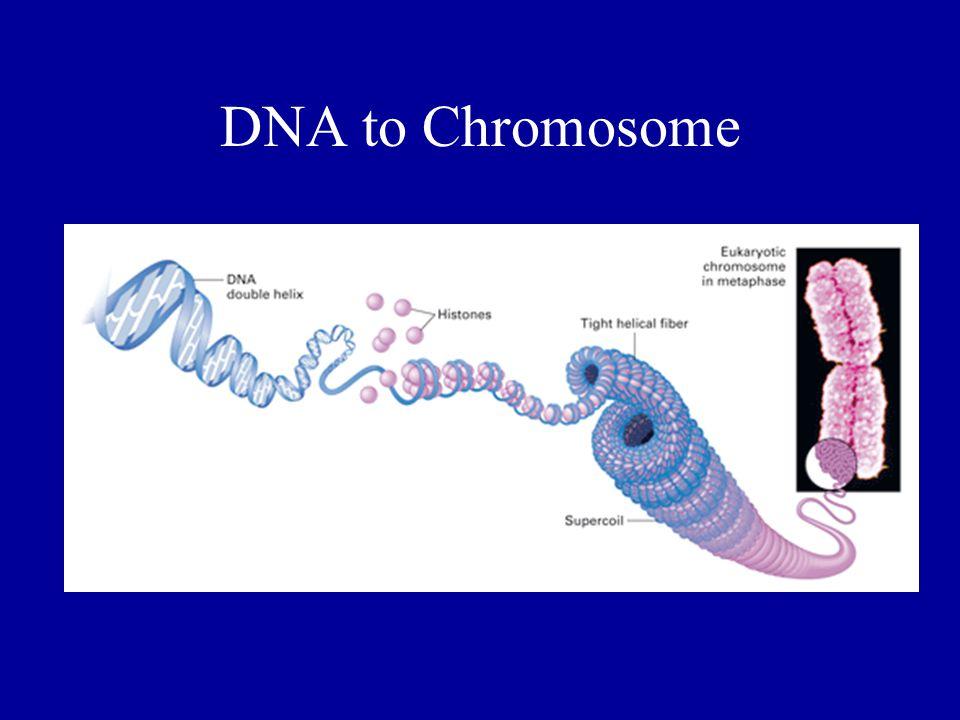 DNA to Chromosome