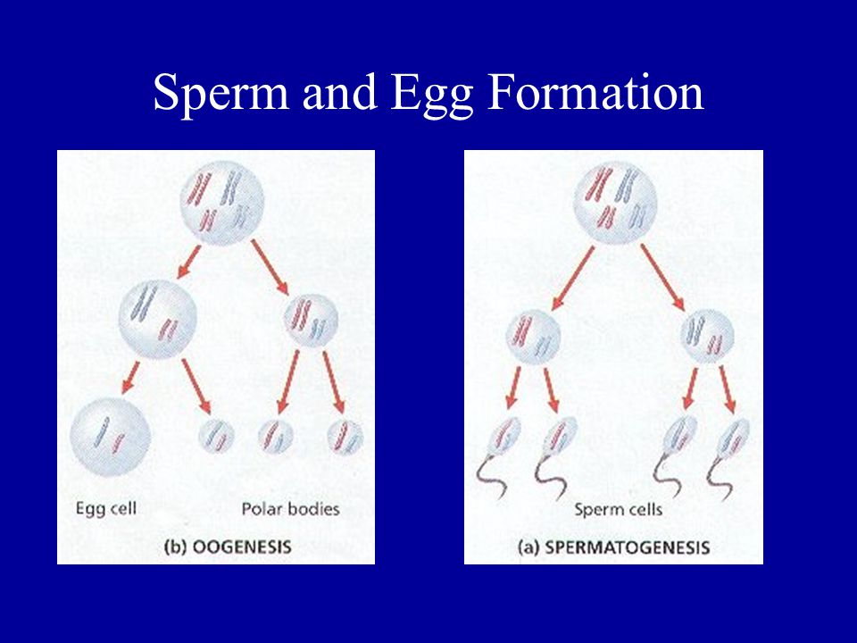 Sperm and Egg Formation