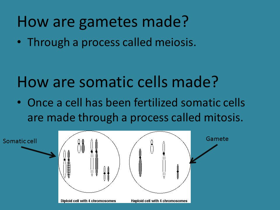 How are somatic cells made