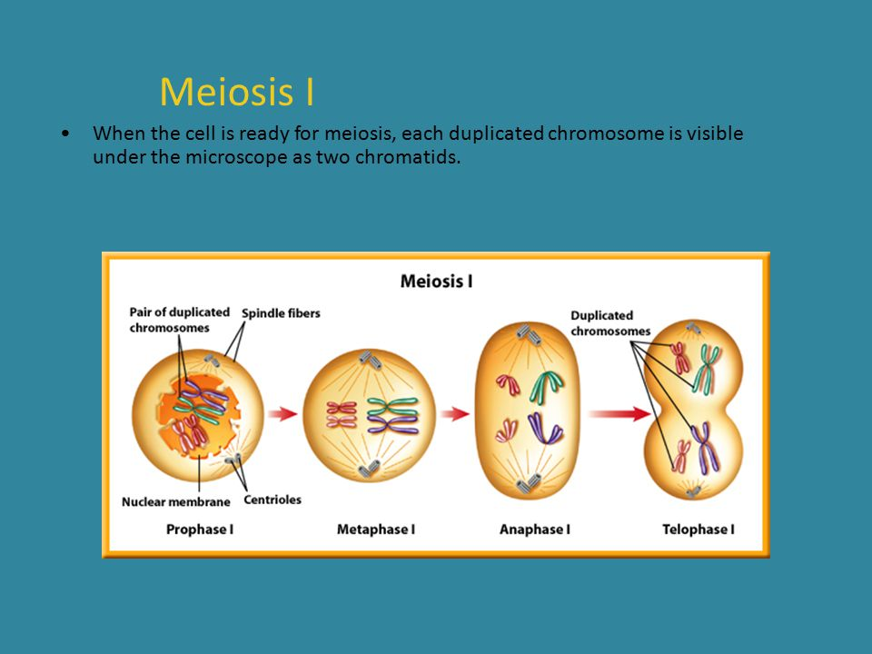 Meiosis I When the cell is ready for meiosis, each duplicated chromosome is visible under the microscope as two chromatids.