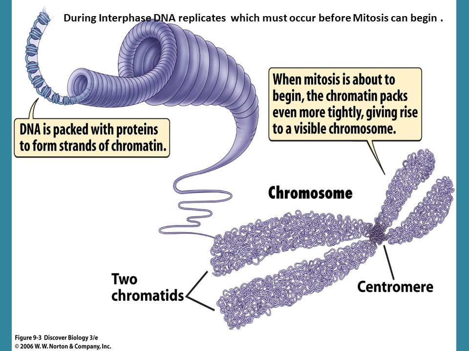 During Interphase DNA replicates which must occur before Mitosis can begin .