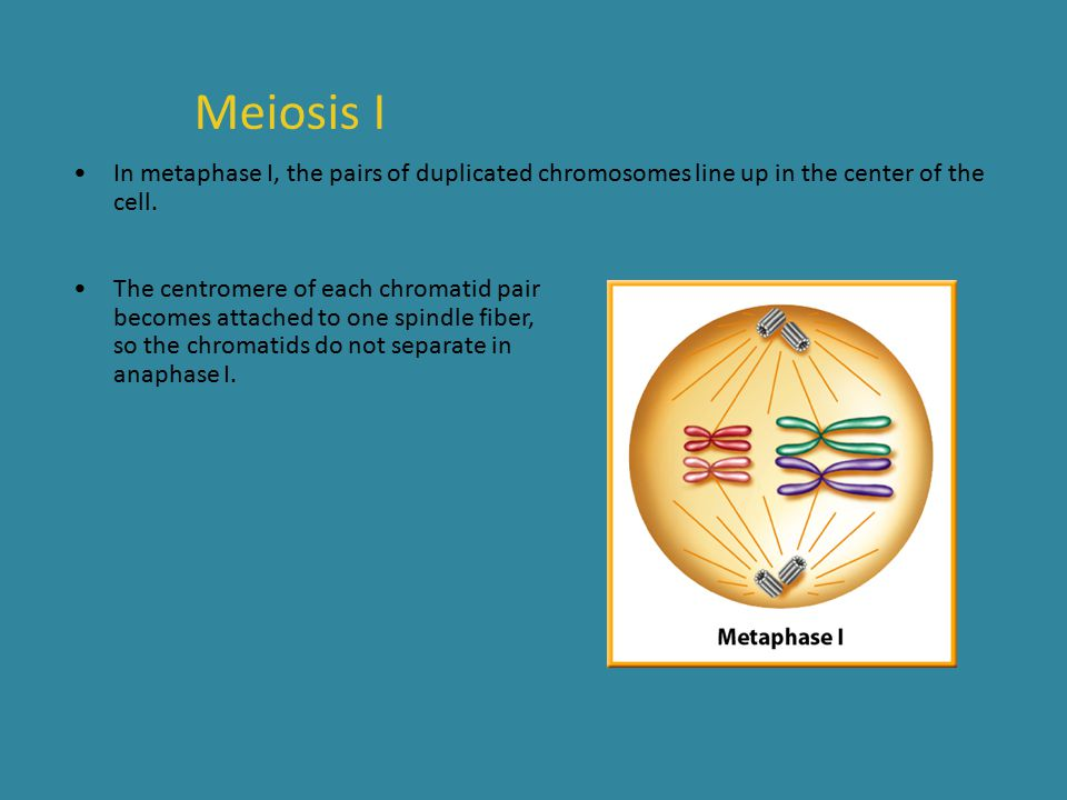 Meiosis I In metaphase I, the pairs of duplicated chromosomes line up in the center of the cell.