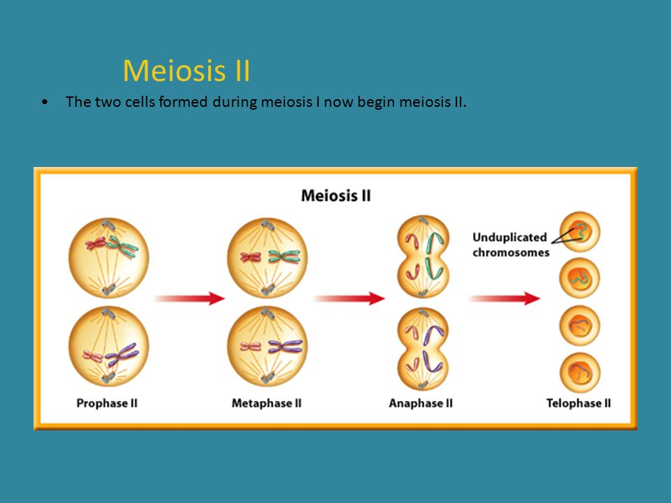 Meiosis II The two cells formed during meiosis I now begin meiosis II.