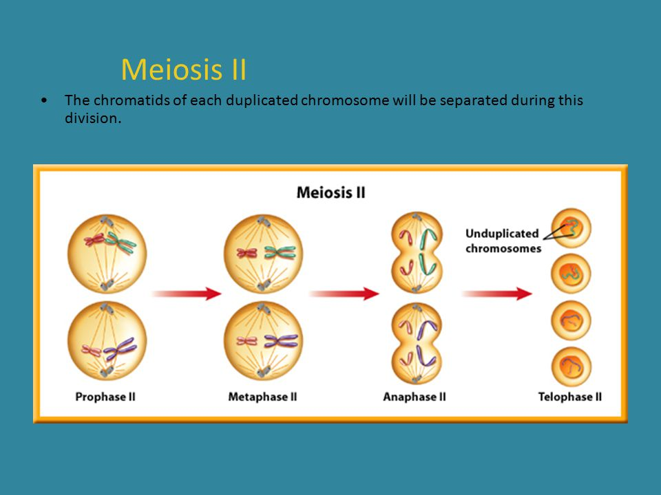 Meiosis II The chromatids of each duplicated chromosome will be separated during this division.