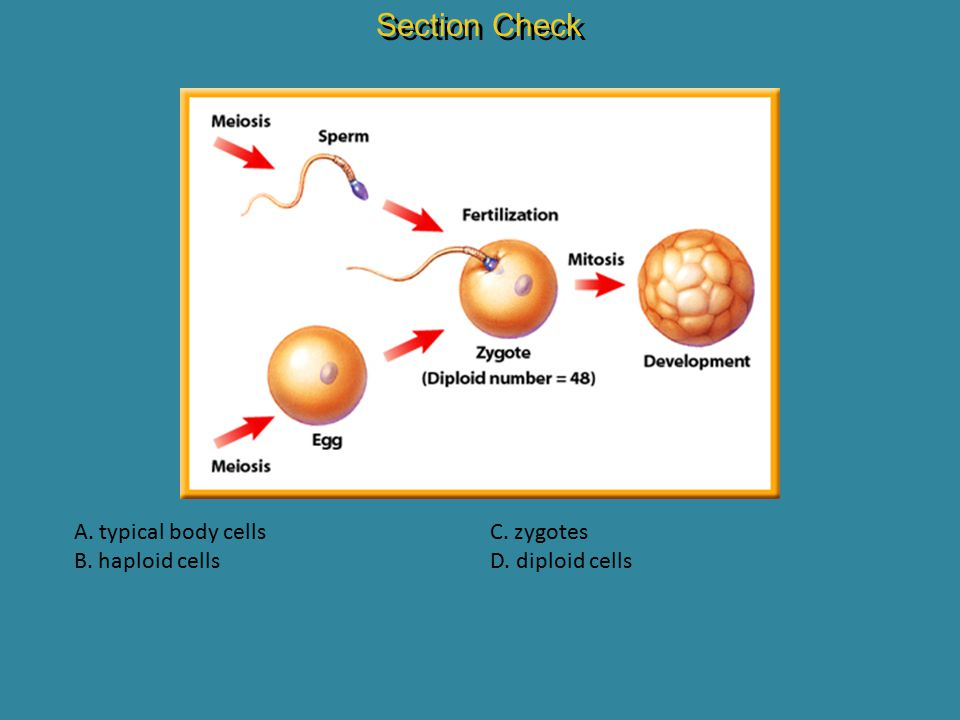Section Check A. typical body cells B. haploid cells C. zygotes