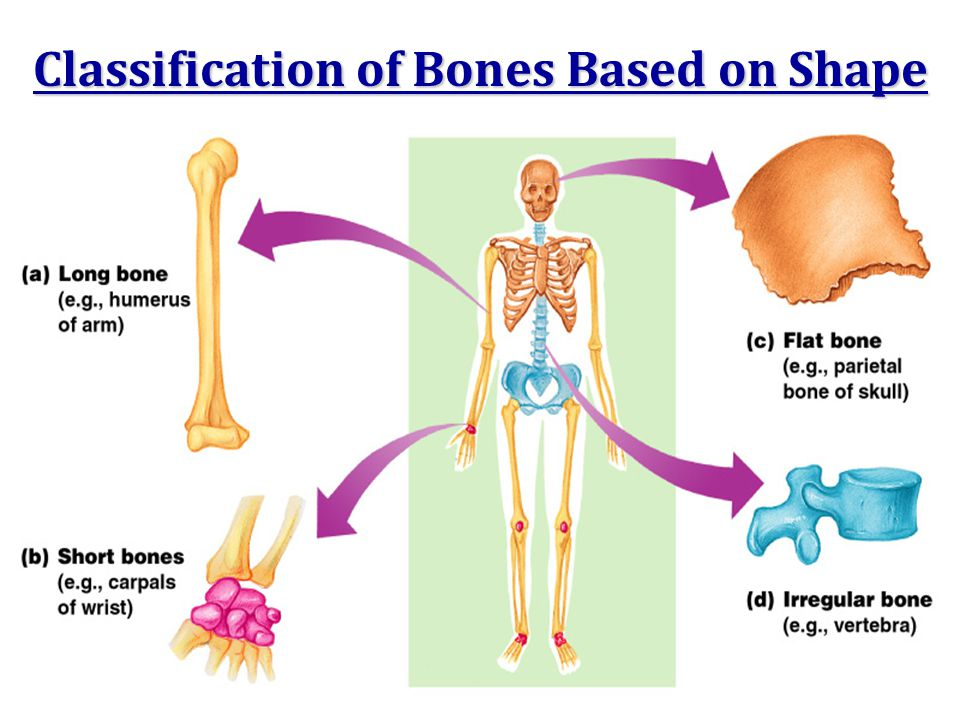 Classification of Bones Based on Shape