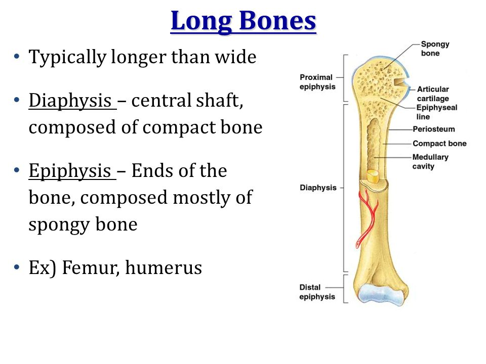Long Bones Typically longer than wide