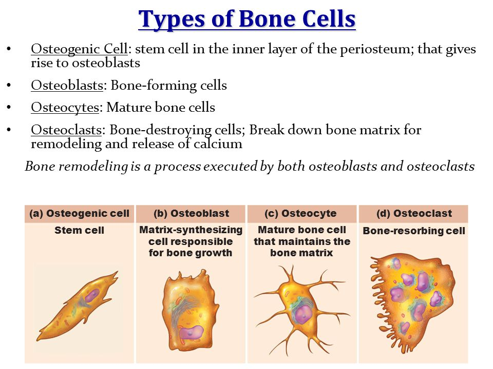 Types of Bone Cells Osteogenic Cell: stem cell in the inner layer of the periosteum; that gives rise to osteoblasts.
