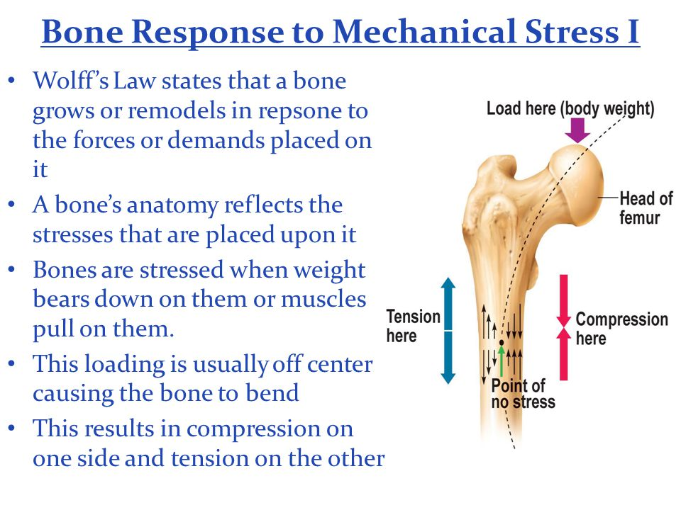 Bone Response to Mechanical Stress I