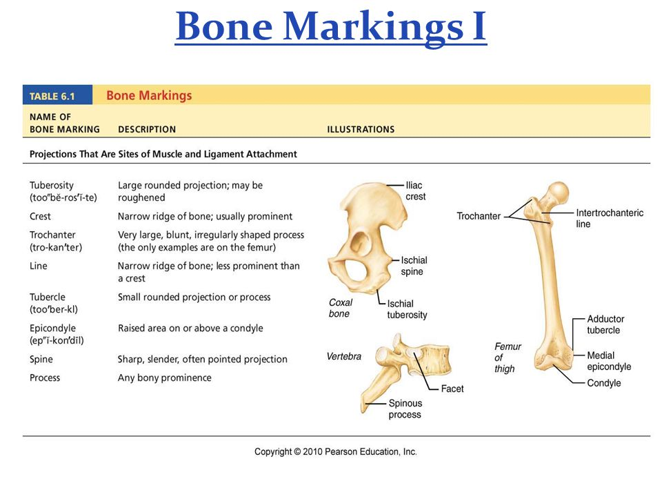 Bone Markings I