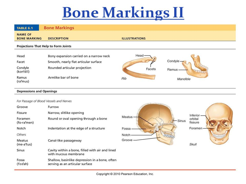 Bone Markings II