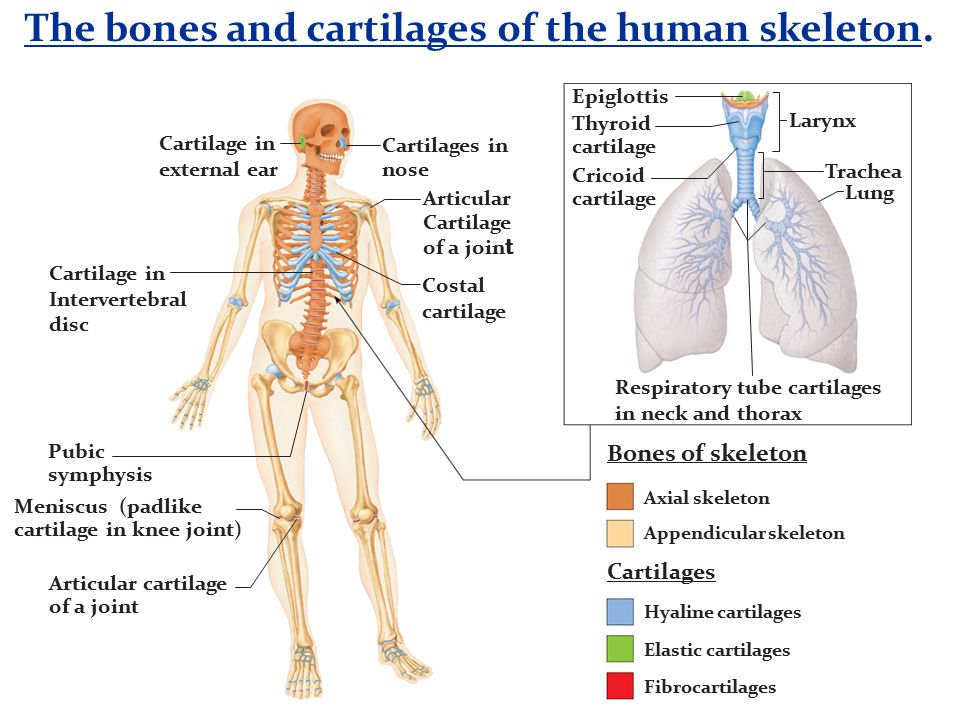 The bones and cartilages of the human skeleton.