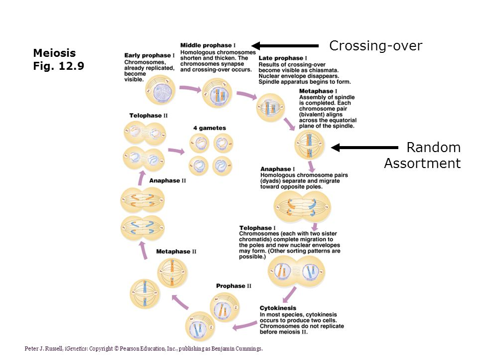 Crossing-over Random Assortment Meiosis Fig. 12.9