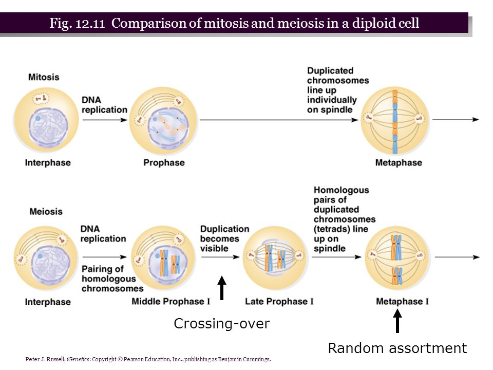 Fig. 12.11 Comparison of mitosis and meiosis in a diploid cell
