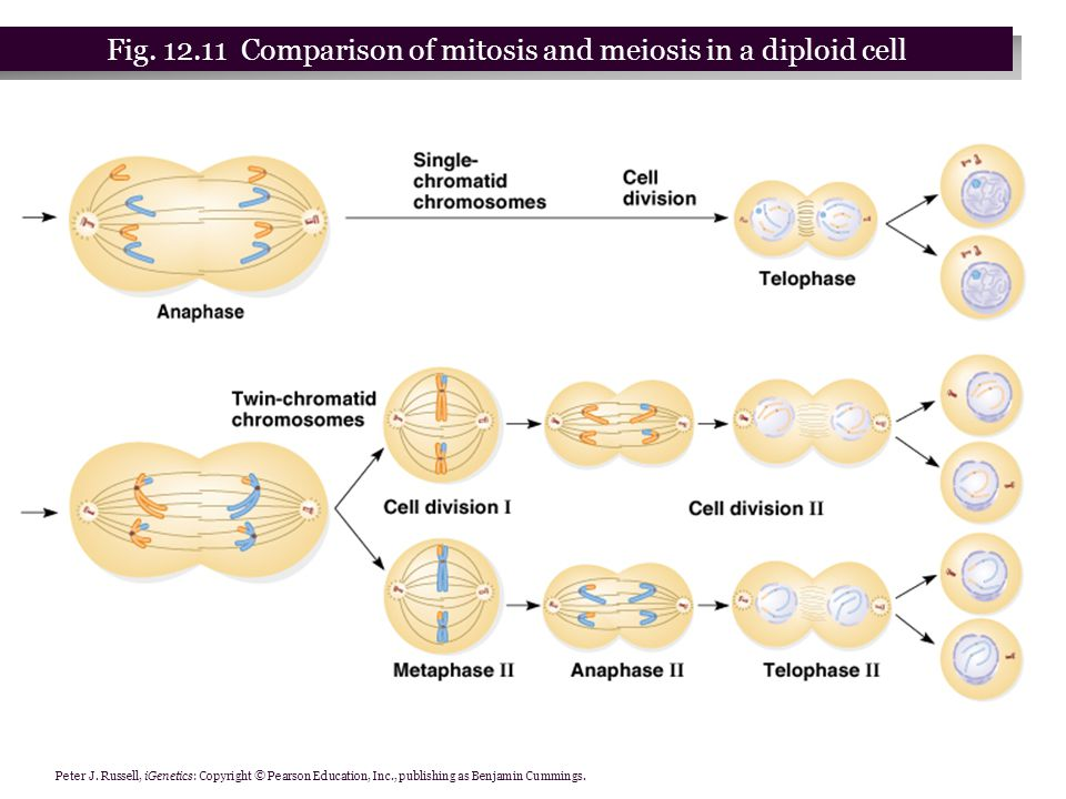 comparison of mitosis and meiosis pdf