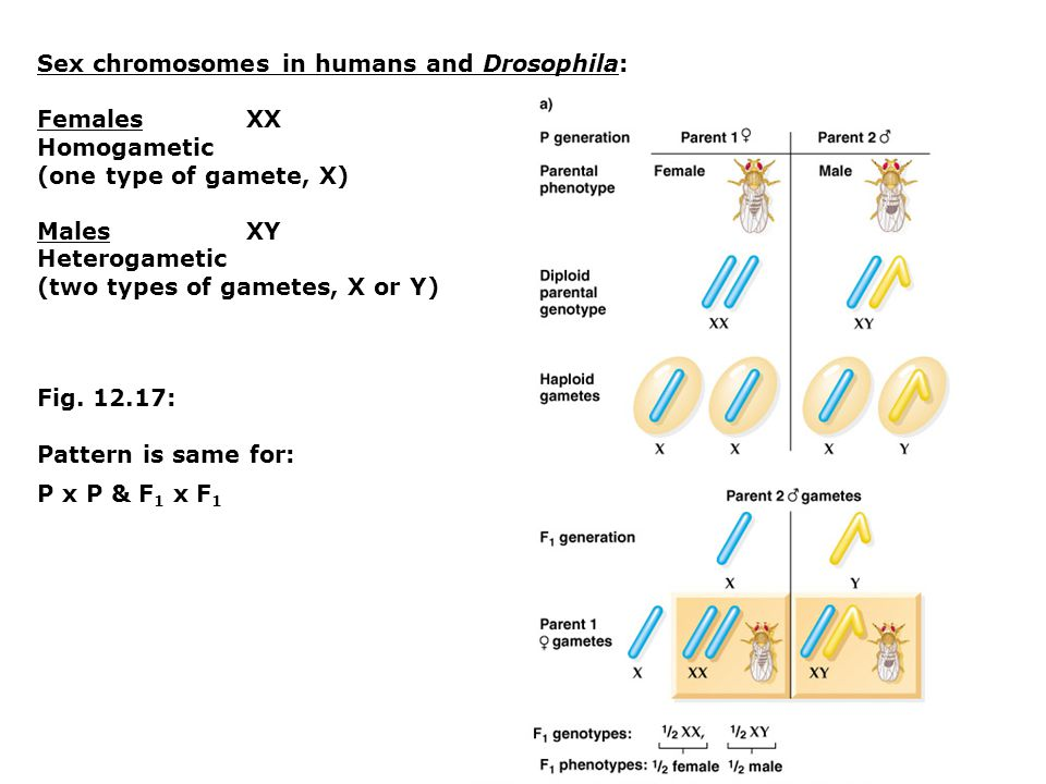 Sex chromosomes in humans and Drosophila: