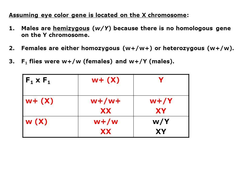 w+ (X) Y w+/w+ XX w+/Y XY w+/w w/Y
