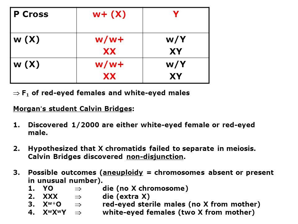 P Cross w+ (X) Y w (X) w/w+ XX w/Y XY