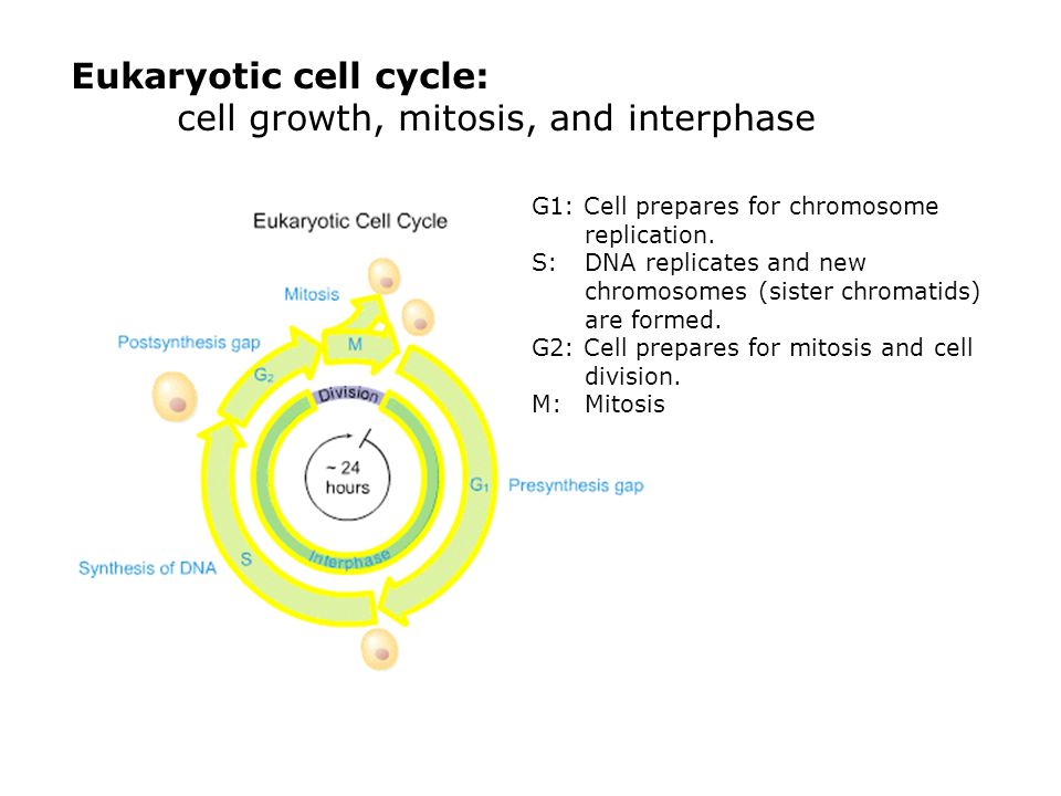 Eukaryotic cell cycle: cell growth, mitosis, and interphase