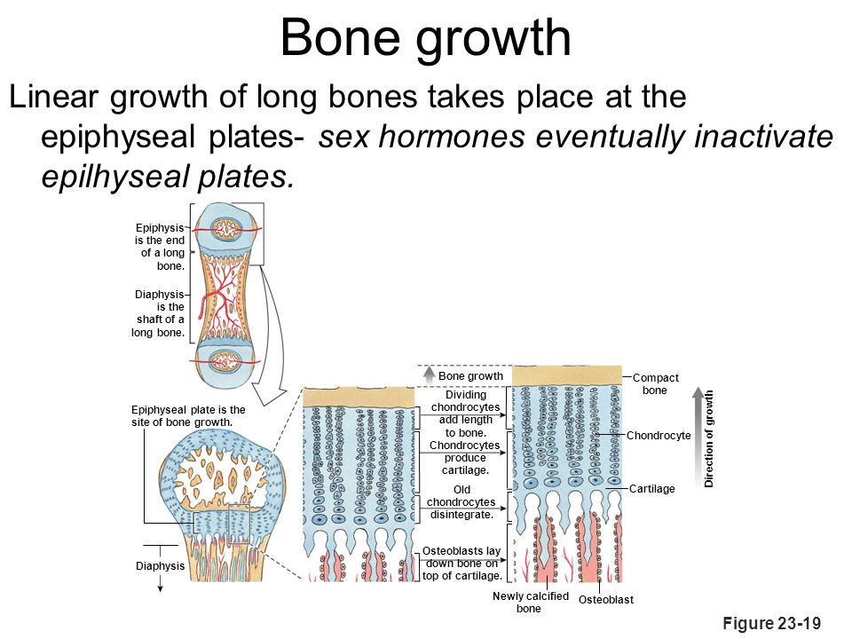 Bone growth Linear growth of long bones takes place at the epiphyseal plates- sex hormones eventually inactivate epilhyseal plates.
