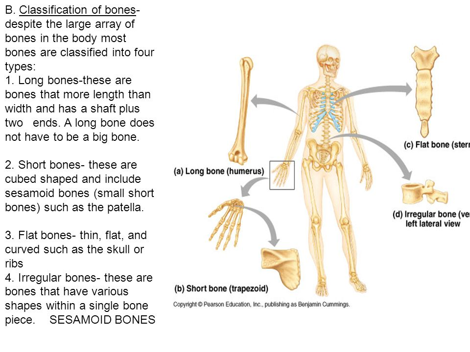 B. Classification of bones- despite the large array of bones in the body most bones are classified into four types: