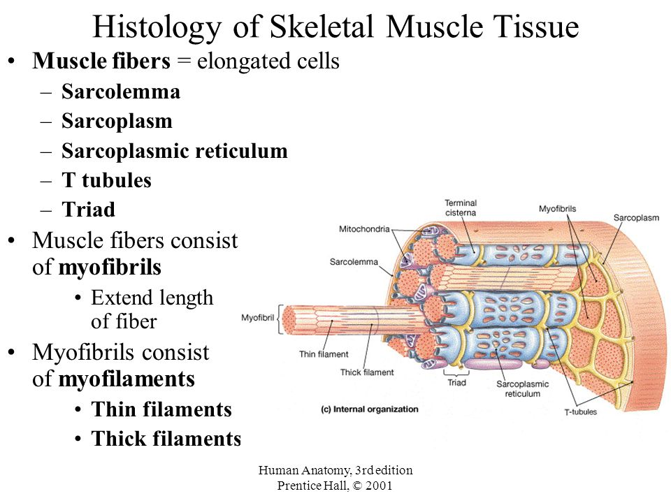 Histology of Skeletal Muscle Tissue