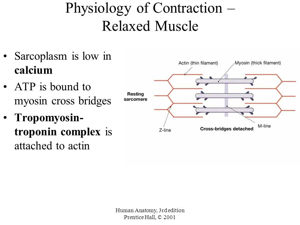 Physiology of Contraction – Relaxed Muscle